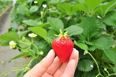 いちご狩り 苺を手に持つの写真素材 [FYI01259811]