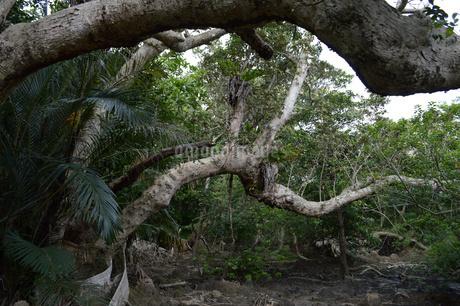 精霊が宿っていそうな南国の木々の写真素材 [FYI01259998]
