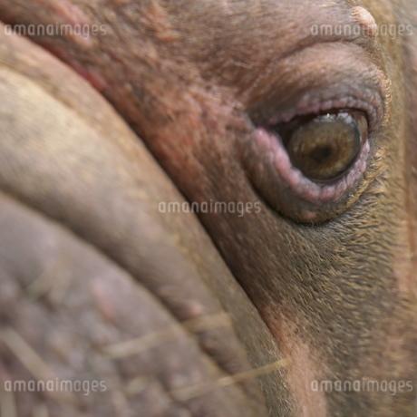 セイウチの顔のクローズアップの写真素材 [FYI01260016]