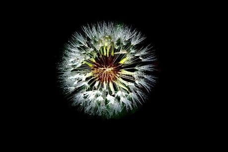 黒バックのタンポポの綿毛の写真素材 [FYI01260018]