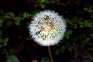 タンポポの綿毛の写真素材 [FYI01260019]