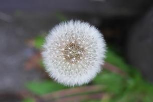 タンポポの綿毛の写真素材 [FYI01260024]
