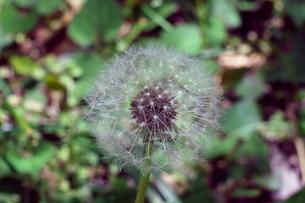 タンポポの綿毛の写真素材 [FYI01260025]