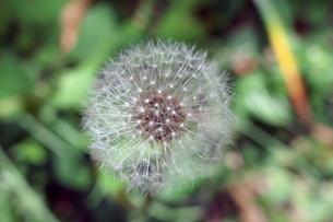 タンポポの綿毛の写真素材 [FYI01260026]