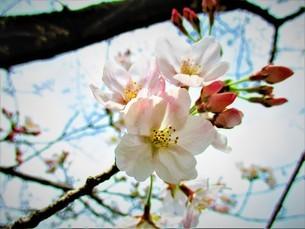 桜咲くの写真素材 [FYI01260119]