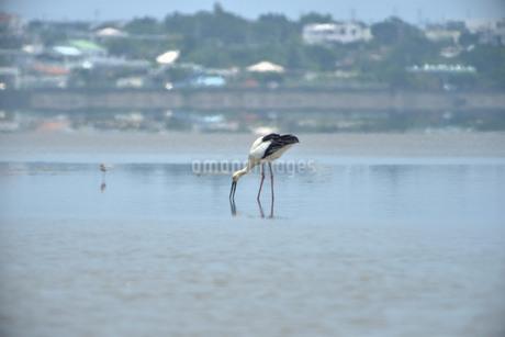 宮古島/コウノトリの写真素材 [FYI01260302]