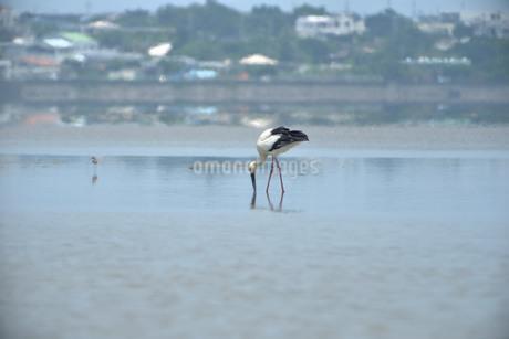 宮古島/コウノトリの写真素材 [FYI01260304]