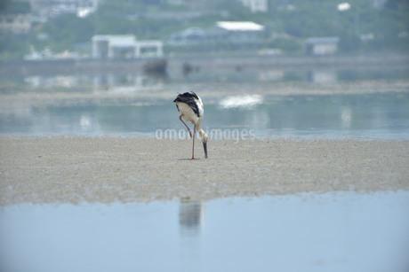 宮古島/コウノトリの写真素材 [FYI01260343]