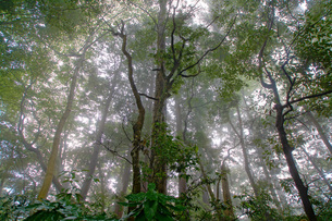 霧がかかる森の写真素材 [FYI01260628]