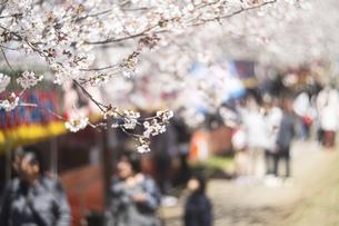 風景 背景 さくら 桜 櫻 櫻 春 の写真素材 [FYI01260662]