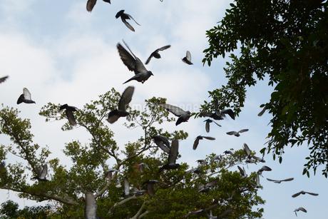 飛び立つたくさんの鳩の写真素材 [FYI01260796]