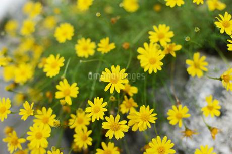 黄色い花の写真素材 [FYI01260806]