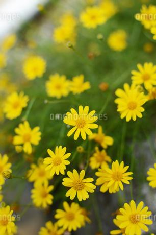 黄色い花の写真素材 [FYI01260807]