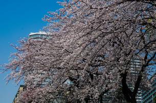 東戸塚高層マンション群と満開の桜の写真素材 [FYI01260815]