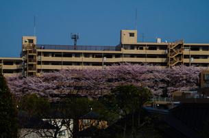 東戸塚環2沿いマンションの満開の桜の写真素材 [FYI01260816]
