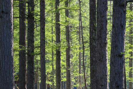 春のカラマツの森の写真素材 [FYI01260835]
