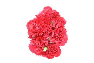 カーネーションの花束の写真素材 [FYI01260838]