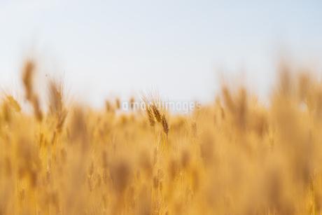 小麦畑#2の写真素材 [FYI01260997]