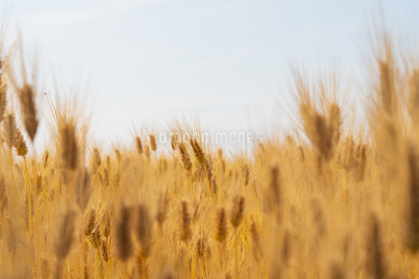 小麦畑の写真素材 [FYI01260998]