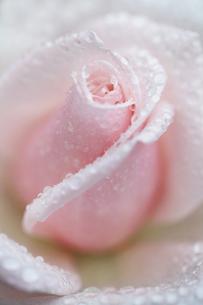 水滴が美しいピンク色の薔薇(Royal Highness)の写真素材 [FYI01261007]
