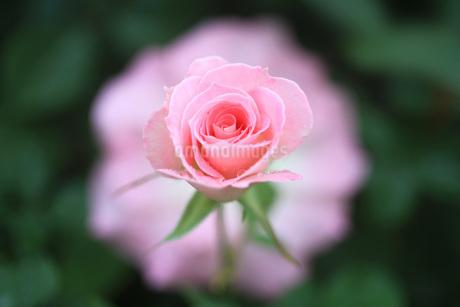 可愛いピンク色の薔薇(Matilda)の写真素材 [FYI01261009]