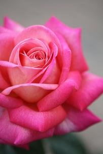 ピンク色の薔薇(Chicago Peace)の写真素材 [FYI01261012]