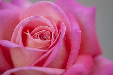 ピンク色の薔薇(Chicago Peace)の写真素材 [FYI01261014]