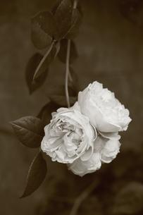 モノクロの薔薇(St.Suithun)の写真素材 [FYI01261015]
