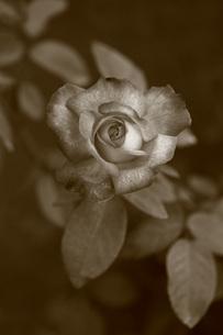 モノクロの薔薇(聖火)の写真素材 [FYI01261016]