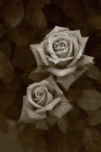モノクロの薔薇(薪能)の写真素材 [FYI01261017]