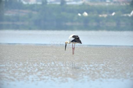 宮古島/コウノトリの写真素材 [FYI01261035]