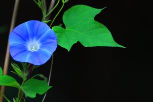 アサガオ 夏の花の写真素材 [FYI01261116]