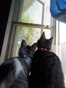 二匹で仲良く窓の外を見上げ眺める猫ちゃんの写真素材 [FYI01261146]