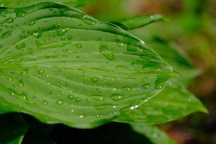 雨上がりの葉の写真素材 [FYI01261198]