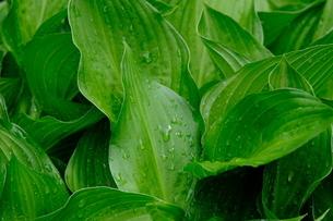 雨上がりの葉の写真素材 [FYI01261200]