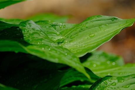 雨上がりの葉の写真素材 [FYI01261202]
