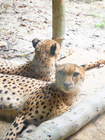 シンガポール動物園 チーターの写真素材 [FYI01261320]
