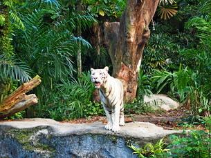シンガポール動物園 ホワイトタイガーの写真素材 [FYI01261321]