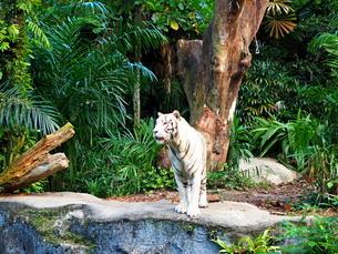 シンガポール動物園 ホワイトタイガーの写真素材 [FYI01261330]
