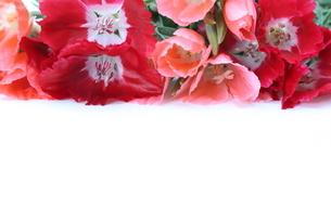 イロマツヨイグサの花束の写真素材 [FYI01261398]