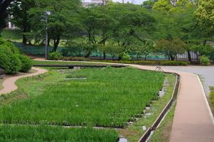 小田原城内の花菖蒲田の風景の写真素材 [FYI01261461]