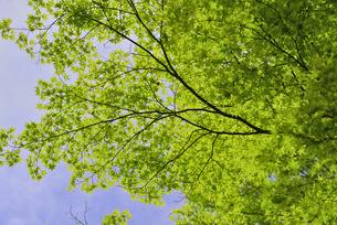 春 爽やかな新緑の写真素材 [FYI01261618]