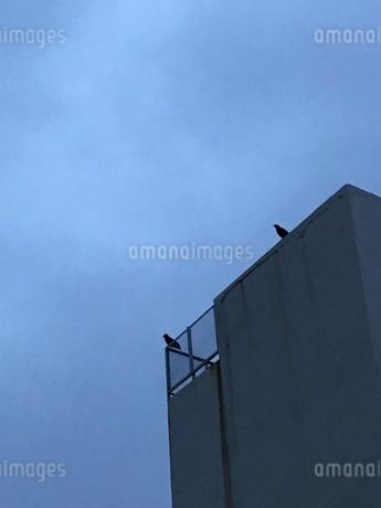 大雨の後の二羽のカラスの写真素材 [FYI01261646]