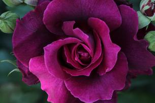 薔薇のクローズアップの写真素材 [FYI01261699]