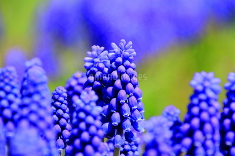 札幌の道端で自生するムスカリの花の写真素材 [FYI01261737]