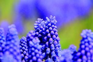 札幌の道端で自生するムスカリの花の写真素材 [FYI01261739]
