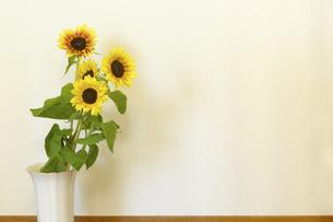 ヒマワリの花,室内,白背景,白壁の写真素材 [FYI01261817]