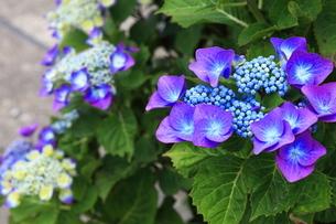 紫陽花の写真素材 [FYI01261874]