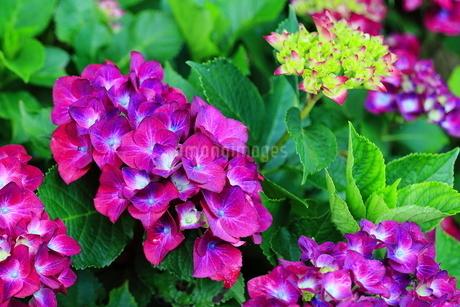 紫陽花の写真素材 [FYI01261875]