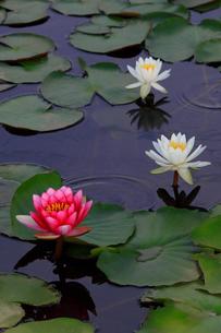 蓮の花の写真素材 [FYI01261886]